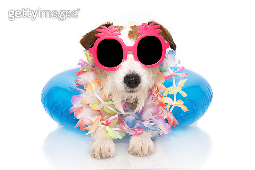 DOG SUMMER VACATIONS. JACK RUSSELL INSIDE A INFLATABLE OR BLUE FLOAT POOL WEARING PINK PINAPLE SUNGLASSES AND FLORAL GARLAND. ISOLATED AGAINST WHITE BACKGROUND.
