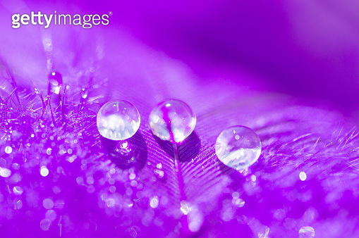 A beautiful abstract violet background with two dew drops on feather bird close up macro