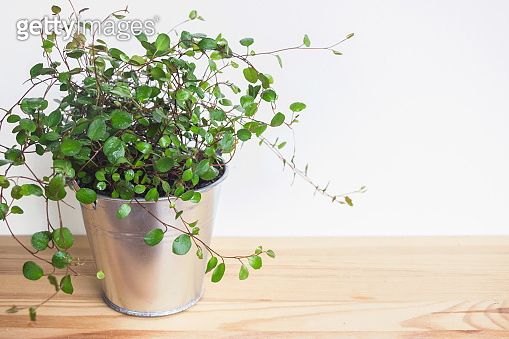 Muehlewbeckia complera wire vine plant in pot with wooden background