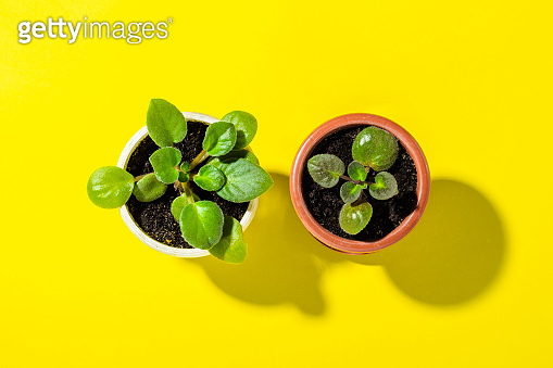 Indoor flowers Violet in a pot on a yellow background. Natural light, modern trend, minimalism. Flat lay, top view