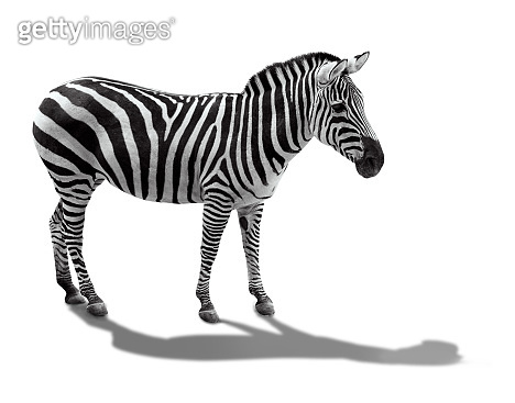 zebra side view. Isolated on white background. the striped zebra