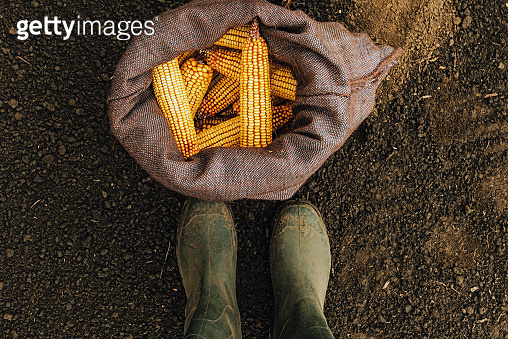 Farmer standing directly above harvested corn cobs