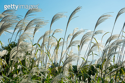 Common Reed (Phragmites) of a sky background