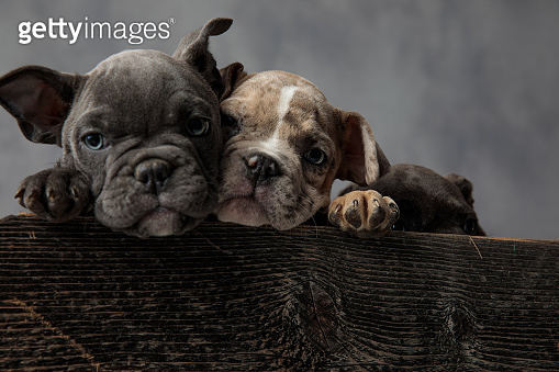 cute heads of american bully puppies sitting in  wooden box