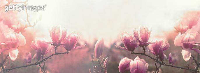 Magnolia flower, beautiful flowering Magnolia flowers in spring