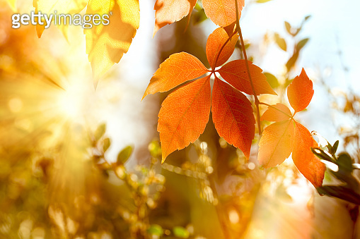 Autumn leaf, beautiful nature in autumn, autumn leaves on tree lit by golden sunlight in late afternoon