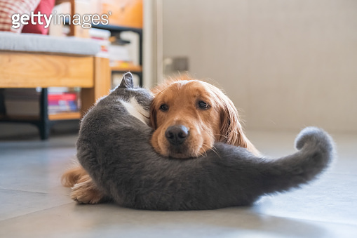 Golden Retriever dog and British short-haired cat