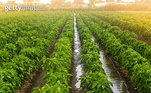Traditional watering pepper plantations. Farming and agriculture. Cultivation, care and harvesting. Grow agricultural products for sale. Saving irrigation water in arid regions. Beautiful farm field