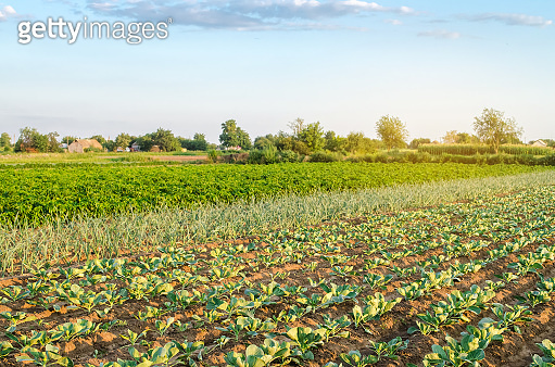 Plantation of young cabbage on a farm on a sunny day. Growing organic vegetables. Eco-friendly products. Agriculture and farming. Plantations cultivation. Ukraine, Kherson region. Selective focus