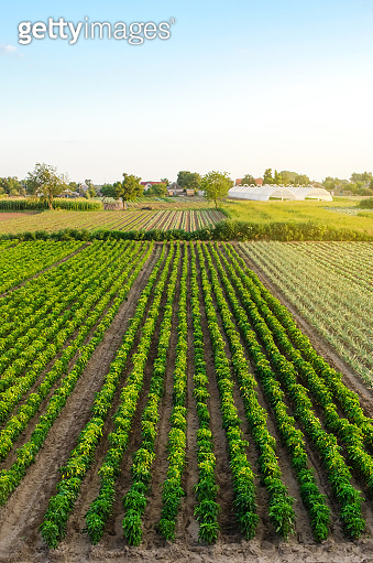 Rows / plantation of young pepper on a farm on a sunny day. Growing organic vegetables. Eco-friendly products. Agriculture land and farming. Agro business. Ukraine, Kherson region. Selective focus
