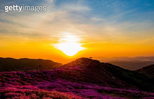 azaleas in the morning when the sun rises
