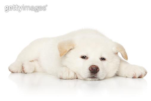 Japanese white Akita puppy lying