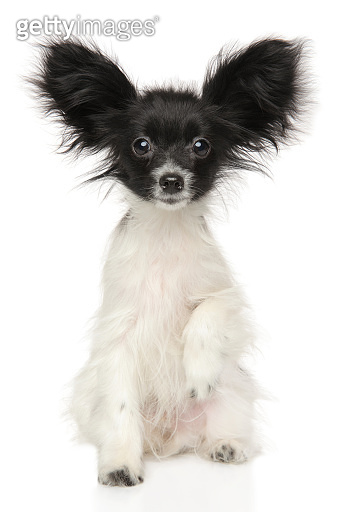 Continental Toy Spaniel dog Papillon puppy sitting