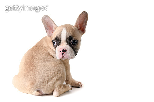 Cute little French bulldog sitting isolated