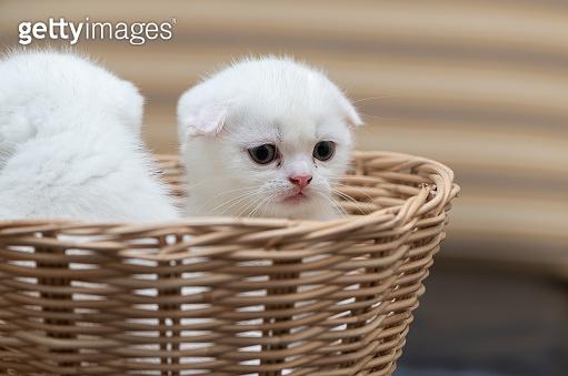 Cute Scottish fold kitten standing in bamboo basket,