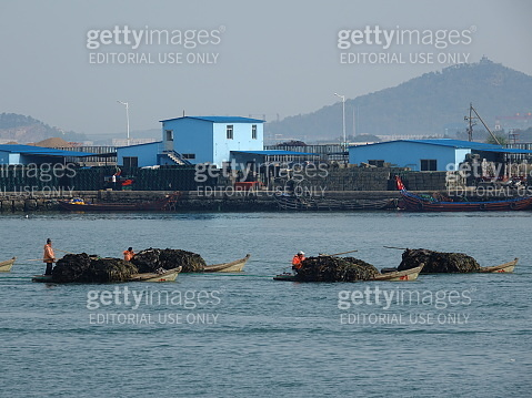 Boats loaded with a large number of kelp on the lake in Rongcheng,Weihai City,China