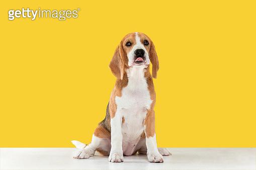 Studio shot of beagle puppy on yellow studio background