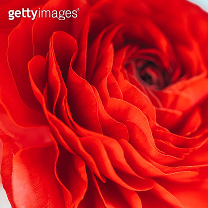 Flower background of beautiful red ranunculus. Close up.