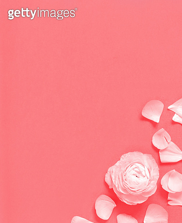 Flower and petals on a pink background