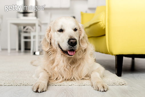 cute golden retriever lying on floor and looking away in kitchen