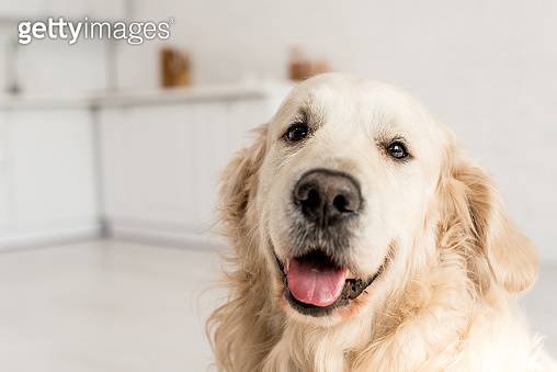 funny, adorable, cute golden retriever looking at camera