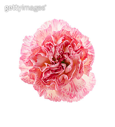 Pink carnation isolated.