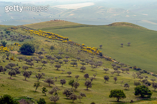 Olive Trees and Ginsters