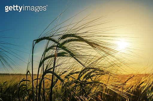 green wheat of ear close up in field. agriculture green grass field in sunset.