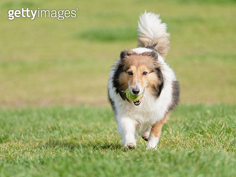 Happy pet dog playing with ball on green grass lawn, playful Shetland sheepdog retrieving ball back very happy.