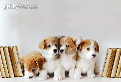 Cute little puppies on shelf with books on light background
