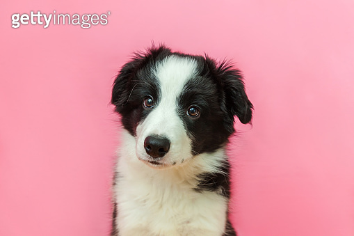 Funny studio portrait of cute smilling puppy dog border collie on pink pastel background