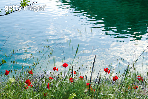 Wild red poppies in the shore of a lake