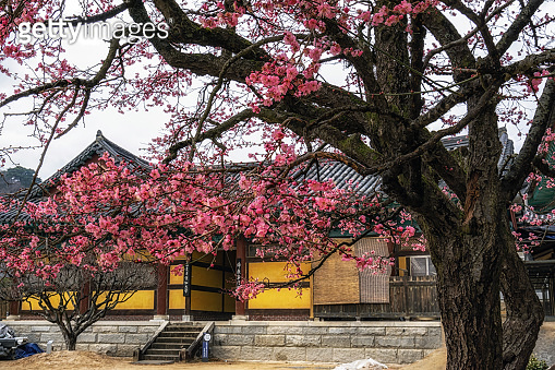 Tongdosa  temple and Plum Blossom