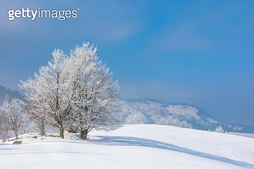 bunch of trees in hoarfrost on snow covered hill