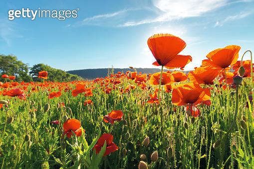 field of red poppy flower shot from below