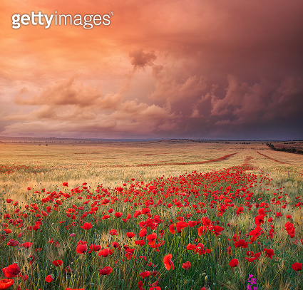 Meadow of wheat and poppy.