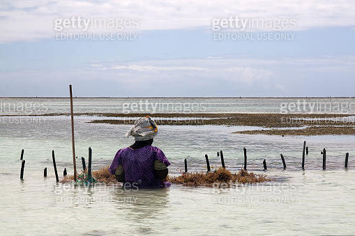An unidentifiable African woman sitting during low tide in the kelp growing farm, which provides raw material for cosmetics