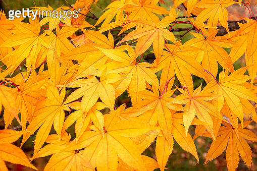 leaves of maple trees in autumn