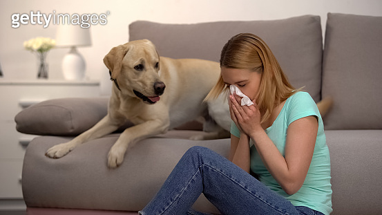 Woman sitting near labrador dog sneezing in tissue, fur allergy, antihistamine