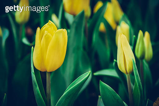 Colorful tulips meadow nature in spring ,Tulip flower background