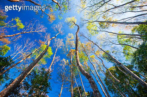 Springtime forest scenery bottom view, gorgeous tall old tree with colorful leaves. View from bottom up to sky.