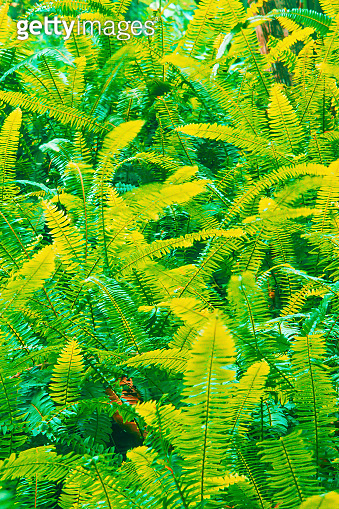 Fantastic colours of fern leaves in a tropical garden.