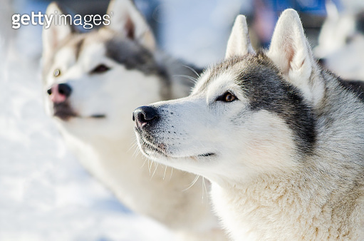 Two siberian husky dog outdoor face portrait. Sled dogs race training in cold snow weather. Strong, cute and fast purebred dog for teamwork with sleigh.