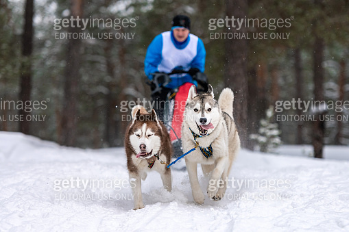 Sled dog racing. Husky sled dogs team pull a sled with dog drive
