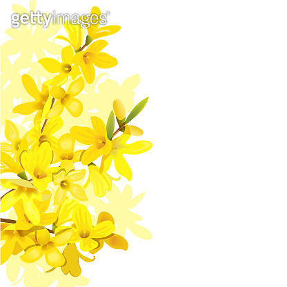 Fluffy blossoming yellow spring tree template. Forsythia suspensa, Golden Bell, flowers frame on the left. Place for text, copy space.