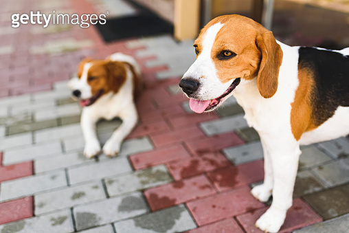 Epagneul Breton, Brittany Spaniel and Beagle dog. Two hounds resting in shade on cool bricked sidewalk next to a house.