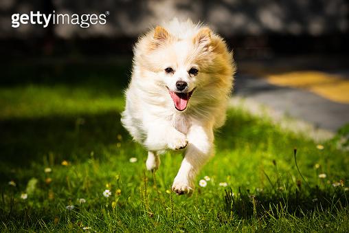 Pomeranian dog german spitz klein running towards camera.