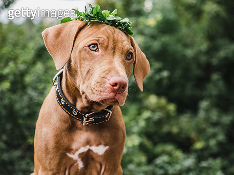 Sweet puppy of chocolate color with a wreath