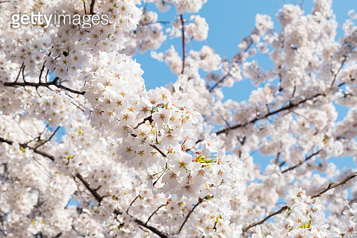 White sakura cherry blossoms branch in spring season in Japan, sun shine to sakura branches in soft white color, soft focus in front and blur background,sakura branch against blue sky background.