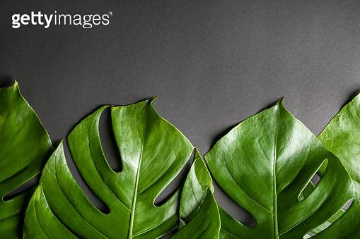 Monstera leaves on dark background